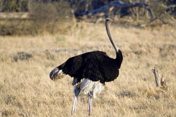 Self adhesive Wall Murals Ostrich ostrich