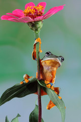 Wall Mural - Beautiful javan tree frog sitting on branch, flying frog lined up on the bridge