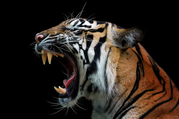 Spoed Fotobehang Tijger Head of sumateran tiger
