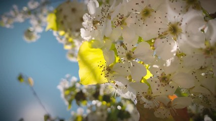 Sticker - Spring tree white flowering bloom blossoms flowers against blue sky background, macro closeup. 4K UHD.