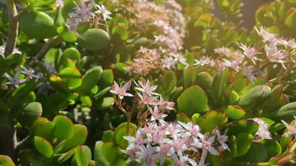 Wall Mural - Crassula ovata, known as jade plant, lucky plant, money plant or money tree blooming flowers outdoors. 4K UHD.