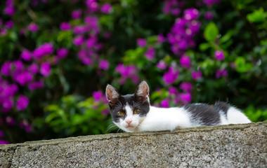 Bicolor little cat, black white, in a flowering garden