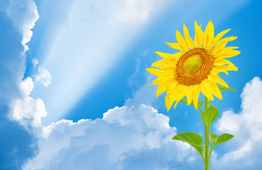 Wall Mural - Sunflower on the background of a blue sky with clouds and sun rays.