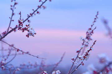 Fotobehang - Branches with delicate flowers, white flowers of a cherry on the background of a gentle pink sea dawn