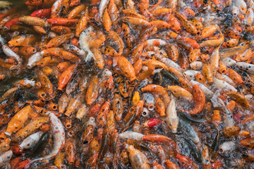 Colorful golden Koi fish in abundance looking hungry while swimming in pond of Qingxiu Mountain, Nanning, China