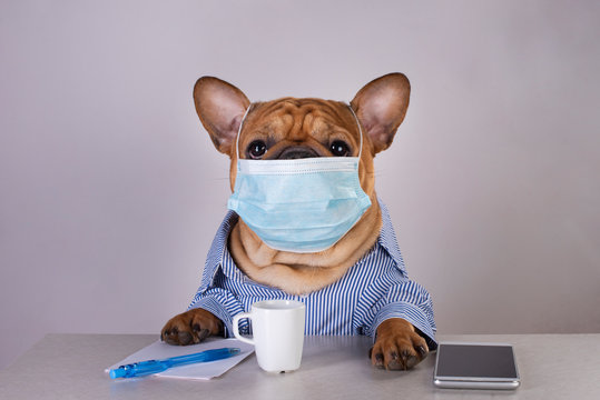 french bulldog in medical mask at workplace during pandemic
