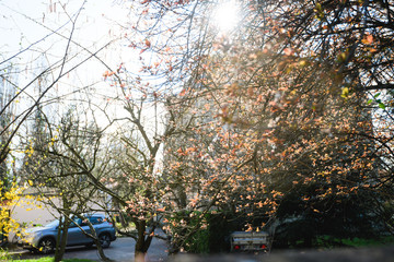 Spring is in the empty city lockdown due Coronavirus cars parked on streets tree in bloom with multiple buds