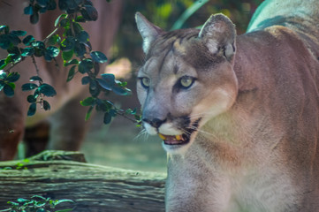 Closeup portrait of a captive Cougar also known as Puma in a Zoo in South Africa