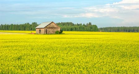 Fotorollo Gelb field of yellow flowers