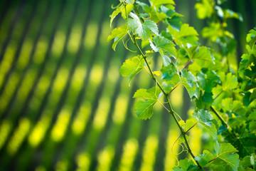 Wall Mural - Vine Leaf
