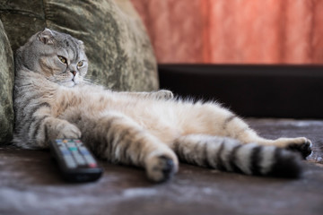 A lazy fat cat is lying asleep on the sofa with a remote control from the TV