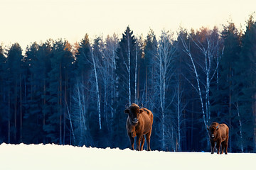 Papiers peints Bison Aurochs bison in nature / winter season, bison in a snowy field, a large bull bufalo