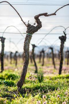 beschnittene Weinreben im Frühjahr
