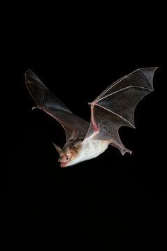 Bechsteins bat flying close up
