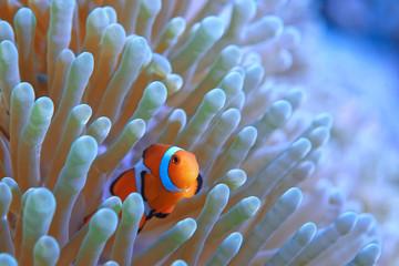 clown fish coral reef / macro underwater scene, view of coral fish, underwater diving Wall mural