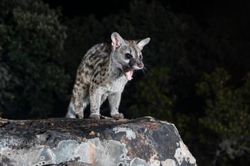 Genet Wildcat