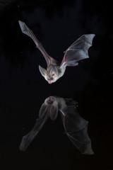 Long eared bat reflection
