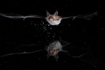 Bechsteins Bat