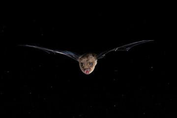 Bechsteins Bat Close Up