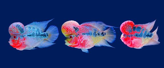 Beautiful fish flowerhorn cichlid isolated red pearl big hump head pet animal hobbyist on blue aquarium water background