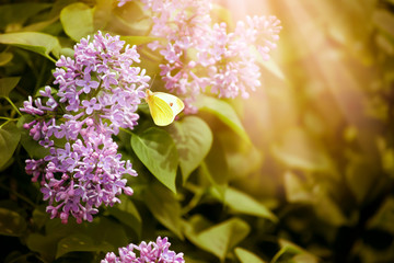Wall Mural - Blooming spring lilacs flowers and yellow butterfly in fabulous garden on mysterious fairy tale springtime floral sunny background with sun light and rays, fantasy nature landscape with syringa bloom