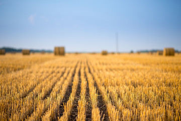 Hay bale. Agriculture field with sky. Rural nature in the farm land. Straw on the meadow. Wheat yellow golden harvest in summer. Countryside natural landscape. Grain crop, harvesting. Fotomurales