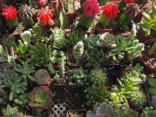small cacti and spurges in a nursery / garden centre in Los Angeles, California, USA