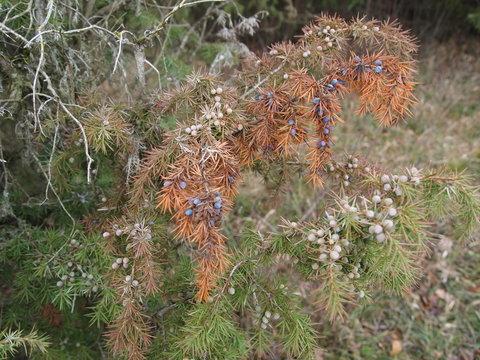 juniper with fruits in winter,  Doernberg, Hesse, Germany