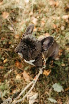 Französische junge Bulldogge, Hund mit herbstlichem Hintergrund