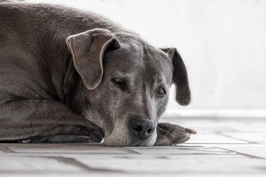 Pose de bonito cachorro cinza deitado no chão