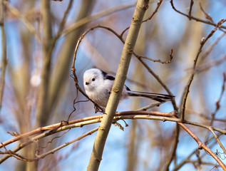 Long-tailed tit bird sits on a branch. Nature background