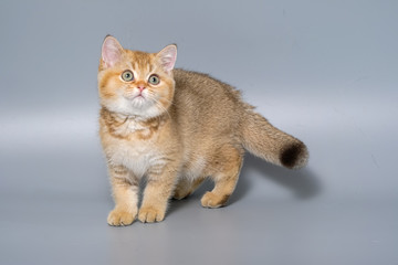 British Shorthair Kitten Cat Isolated Wall mural