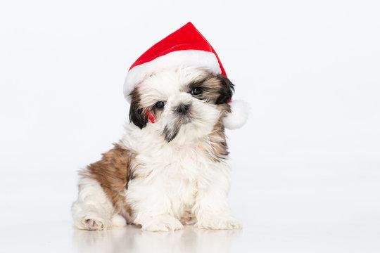 shih tzu puppy with Santa hat on, sitting on a white background