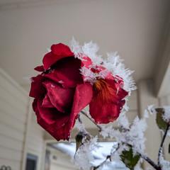 Fond de hotte en verre imprimé Inspiration painterly Frosted Rose