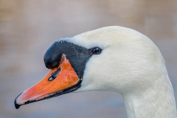 Poster Cygne white swan head closeup in the afternoon