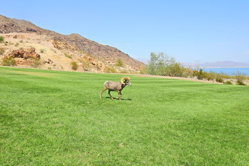Desert big horn sheep that wandered into Hemenway Park, from the surrounding hills in Boulder City, Nevada.