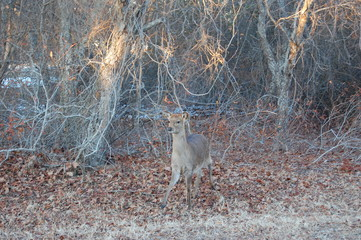 A cautious sika deer stepping out of the woods on Assateague Island in Maryland.