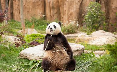 Zelfklevend Fotobehang Panda giant panda sitting eating bamboo shoots in a zoo