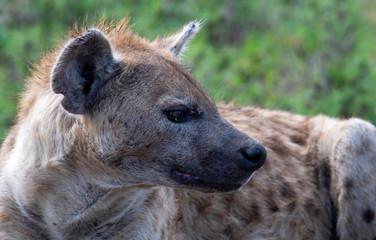 Garden Poster Hyena beautiful wild hyena in Serengeti National Park, Tanzania