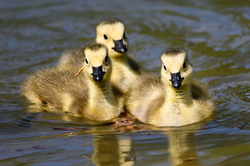 Fototapete - Adorable Newborn Goslings Learning to Swim in the Refreshingly Cool