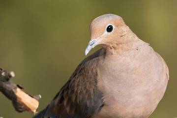 Wall Mural - Close Look at a Mourning Dove While Perched on a Branch