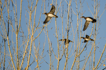 Wall Mural - Flock of Wood Ducks Flying Low Over the Autumn Trees