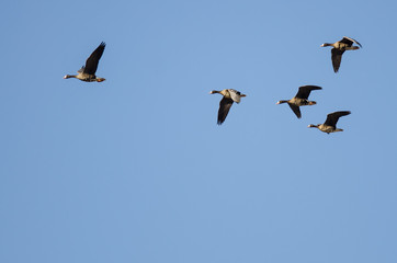 Wall Mural - Flock of Greater White-Fronted Geese Flying in a Blue Sky