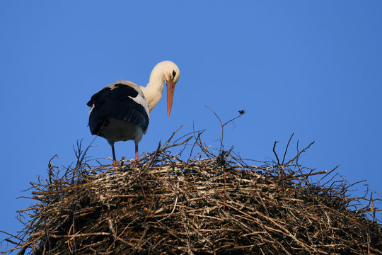 Two storks stand on their nest in Diedorf near Augsburg
