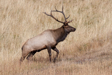 Elk of The Colorado Rocky Mountains