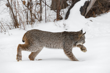 Fotomurales - Canadian Lynx (Lynx canadensis) Stalks Right Through Snow Winter