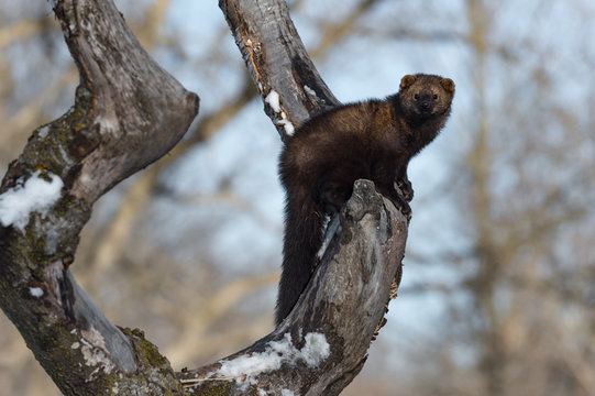 Fisher (Martes pennanti) Perched in Tree Looks Out Winter