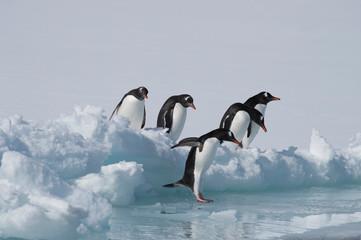 Photo sur Plexiglas Antarctique Gentoo Penguins on the ice