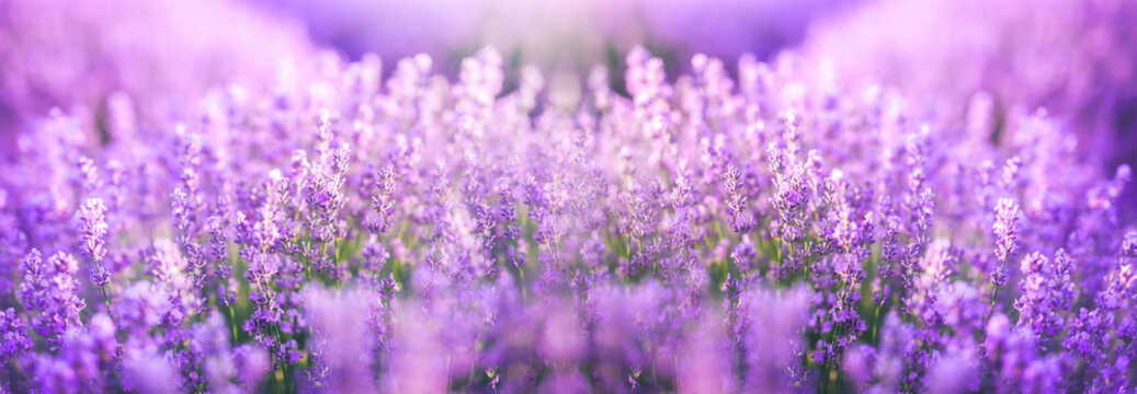 Panoramic purple lavender flowers blooming. Concept of beauty, aroma and aromatherapy