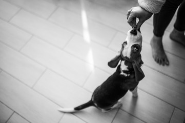 Black and white photo of a funny pet who eats a tasty treat from girl